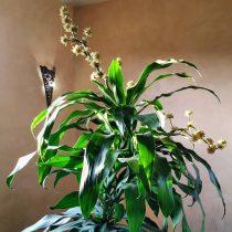 Драцена душистая (Dracaena fragrans)