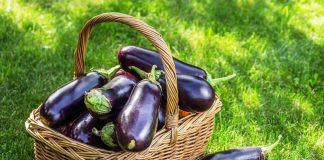 Как я выращиваю баклажаны без рассады в открытом грунте