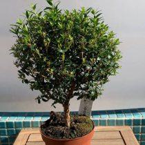 Мирт обыкновенный (Myrtus communis), сорт 'Tarentina'