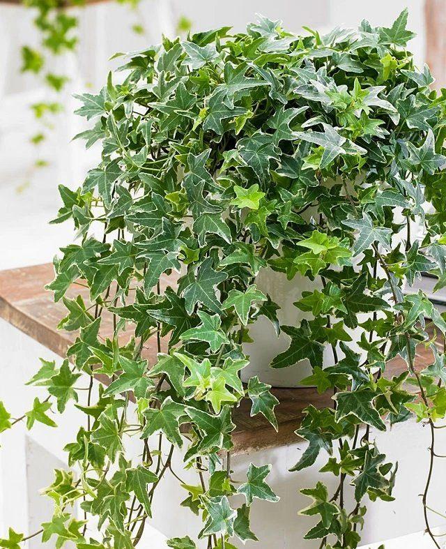 Плющи не очень любят жару и холод: растения нужно защищать от падения температуры ниже 12 градусов тепла