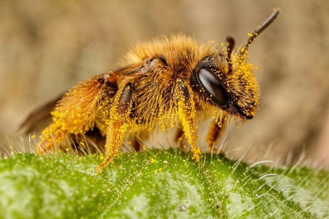 Пчёлы — лидеры по сбору пыльцы