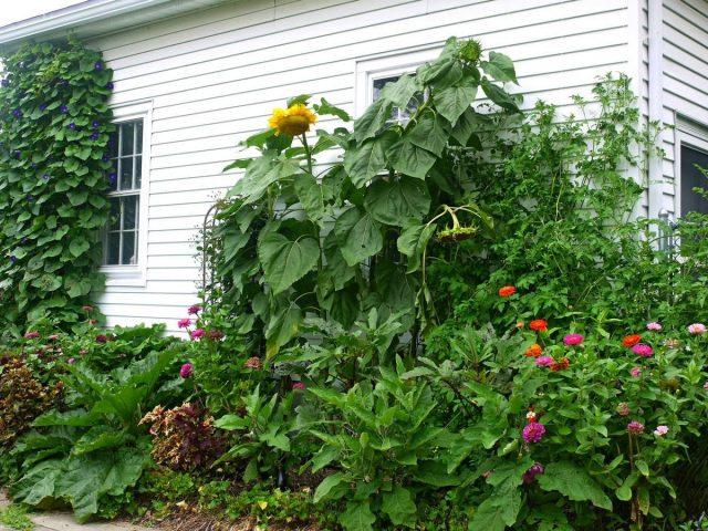 Для гигантского подсолнечника самый требовательный к влаге период — цветение и налив семян