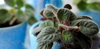 Почему не цветут сенполии в домашних условиях?