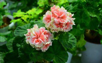 Почему не цветёт пеларгония?