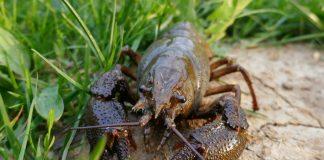Раки в пруду — особенности разведения