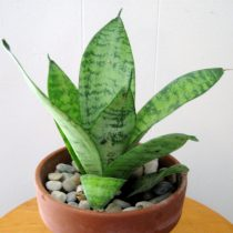 Сансевиерия Хана (Sansevieria hahnii)