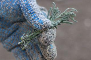 Хорошо укореняются и весенние зеленые черенки сантолины и осенние полуодревесневшие