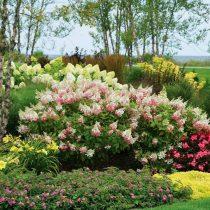 Почва с повышенной кислотностью — настоящий рай для гортензии (Hydrangea)
