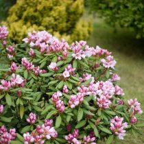 За все труды и хлопоты рододендрон (Rhododendron) вознаградит божественным цветением