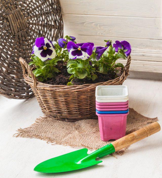 Виолы очень легко вырастить из семян, но еще проще купить готовую рассаду
