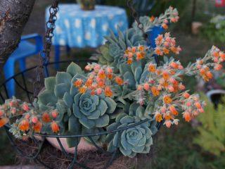 Комнатная эхеверия становится летним украшением сада