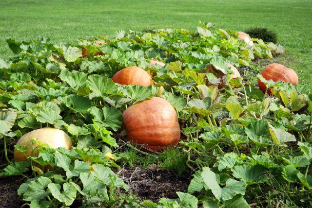 Сорта тыквы с крупными плодами необходимо обеспечить максимум места, чтобы ботва не мешала друг другу