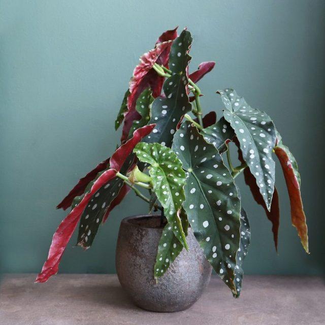 Бегония пятнистая (Begonia maculata)