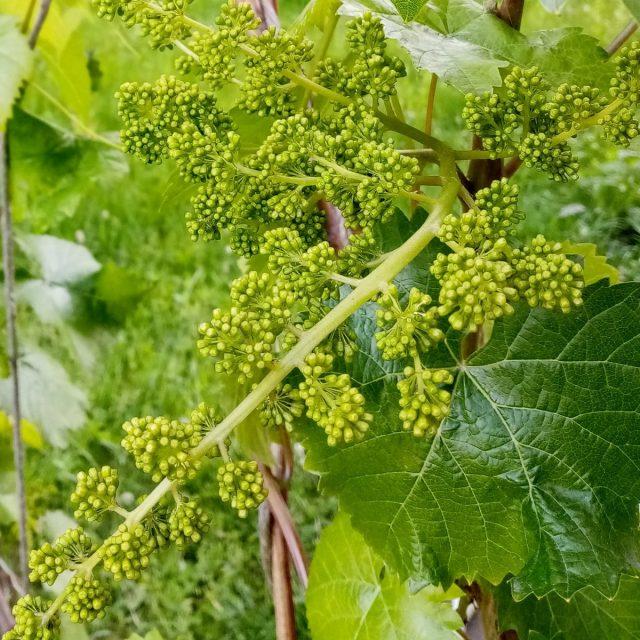 Ранние сорта винограда на юге в июле уже плодоносят, в остальных регионах — цветут и завязывают плоды