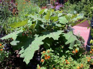 Наранхилла (Solanum quitoense)