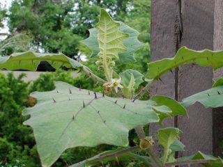 На листьях наранхиллы возвышаются не частые, но выразительные колючки