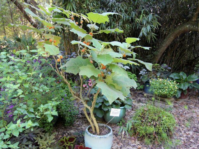 При выращивании наранхиллы в доме на лето её выставляют на улицу или высаживают в грунт