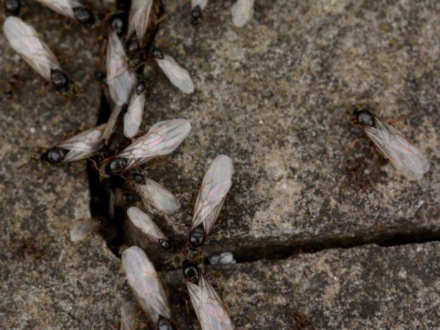 Будущие основательницы муравейников