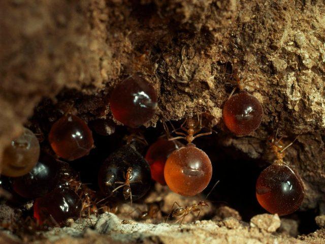 «Медовые бочки» муравьёв