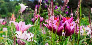 Как эффектно использовать садовые лилии в дизайне сада?