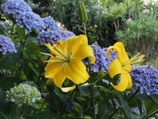 Лилии очень хороши в компании кустарников