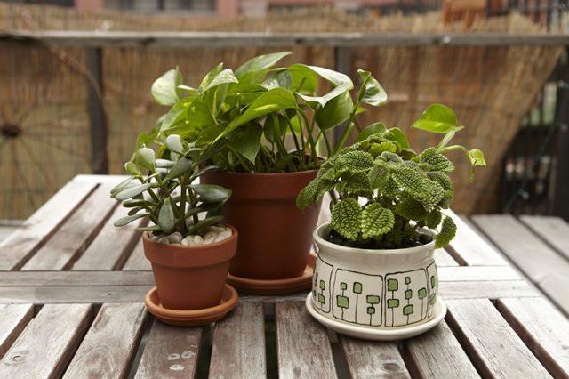 Комнатные растения в саду можно размещать где угодно в рамках мест, достаточно защищенных от ветра и холодных сквозняков