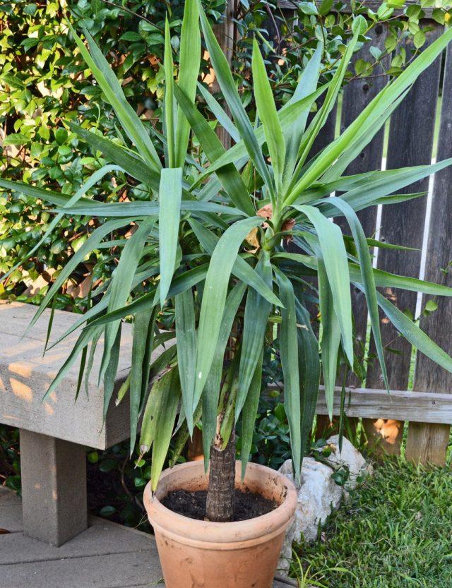 В число растений, которые желательно вынести летом в сад, принадлежат юкки