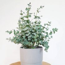 Эвкалипт Гунни (Eucalyptus gunnii)