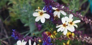 Кореопсис мутовчатый — солнечный многолетник для бедных и сухих почв