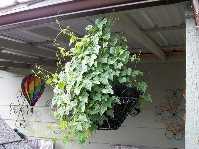 Кроме как для еды, мелотрию шершавую можно использовать и в качестве декоративного растения