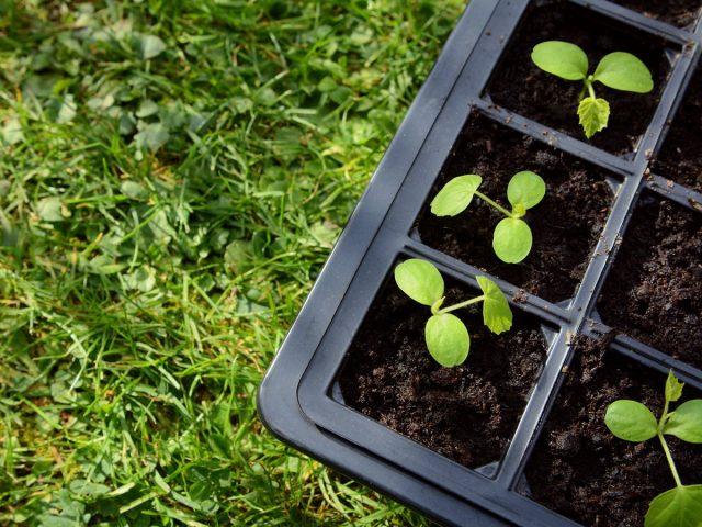 После того, как рассада мелотрии сформирует 2-3 настоящих листочка, можно начинать проветривания для закалки растений