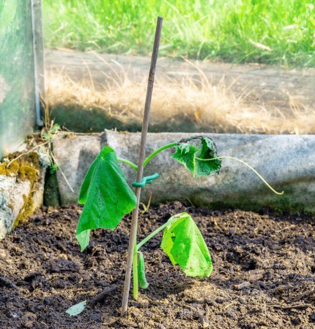 Большинство проблем увядания листьев огурцов возникают из-за неправильного полива