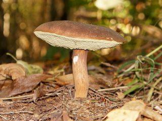 Польский гриб (Imleria badia)