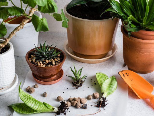 Разделение — простой способ размножения комнатных растений