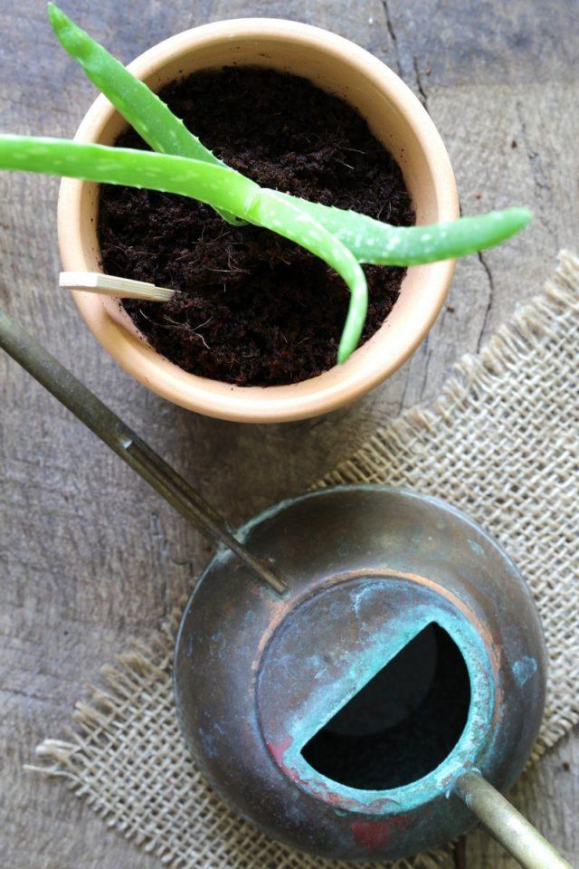 Несмотря на наличие собственных корней, деленкам нужно дать время на восстановление, заживление ран и адаптацию