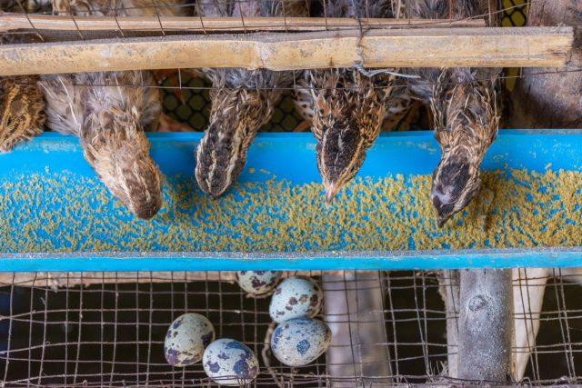 Можно кормить перепелов, применяя промышленные комбикорма, готовить еду птицам самостоятельно или совмещать оба варианта