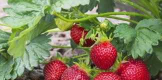 Выращивание ремонтантной земляники садовой и её лучшие сорта