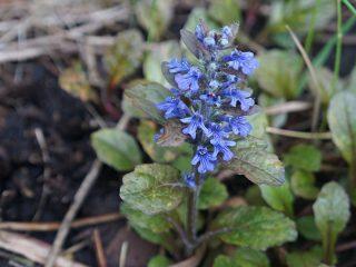 Время цветения живучки «Мультиколор» — вторая половина мая