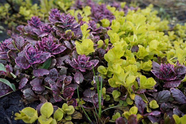Вербейник монетчатый и живучка растения словно созданы для того, чтобы расти дуэтом