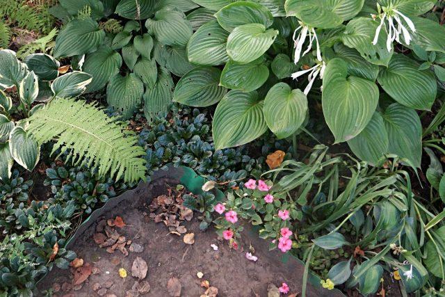Однотонные зеленые или имеющие белые, либо золотистые узоры хосты хорошо сочетаются с пурпурным цветом живучек
