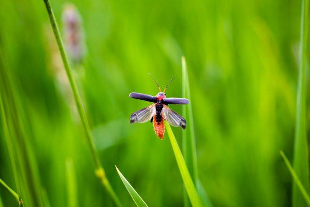 Мягкотелки, или жуки-пожарники (Cantharidae) очень активны и постоянно находятся в движении