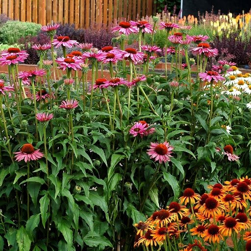 Echinacea-purpurea-Ruby-Giant-3