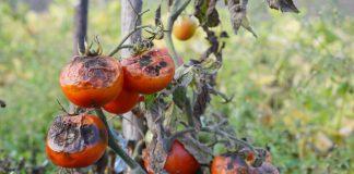 Так ли страшны грибные болезни растений?