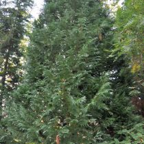 Кипарисовик Лавсона (Chamaecyparis lawsoniana) (A. Murray bis) Parl. © O. Tackenberg