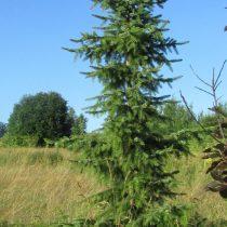 Ель сербская(Picea omorika)