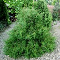 Туя западная (Thuja occidentalis) 'Filiformis' © Voodland