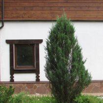 Можжевельник виргинский (Juniperus virginiana) 'Blue arrow'