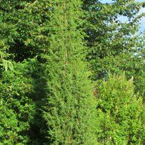 Можжевельник обыкновенный (Juniperus communis) 'Suecica' выращен из черенка, 10 лет, никакого ухода и подкормок. Диаметр кроны – 40 см, высота – около 3 метров