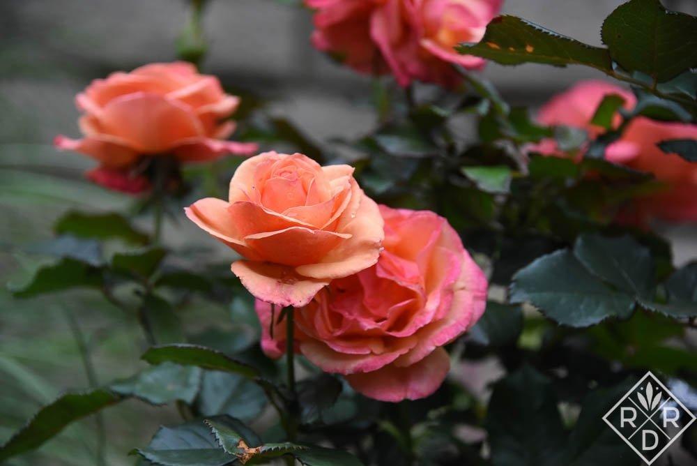 Rosa-Annas-Promise-1