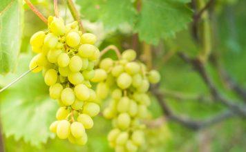 Схема подкормки винограда от саженца до урожая